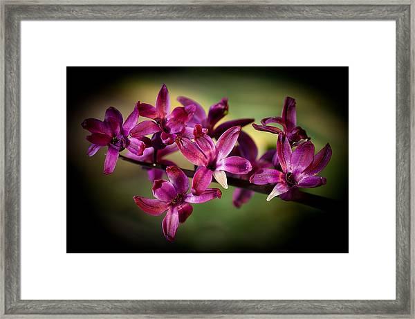 Hyacinth Framed Print