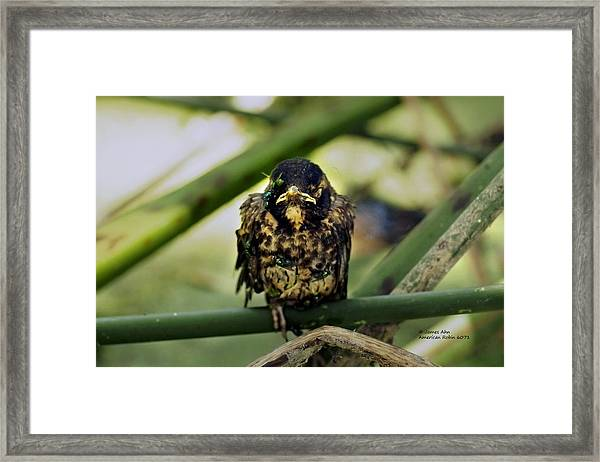 I Hate My Life - American Robin Framed Print