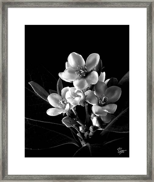 Indian Hawthorn In Black And White Framed Print
