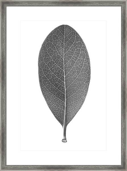 Indian Hawthorn Leaf Framed Print