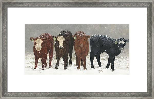 Inquisitive Calves Framed Print