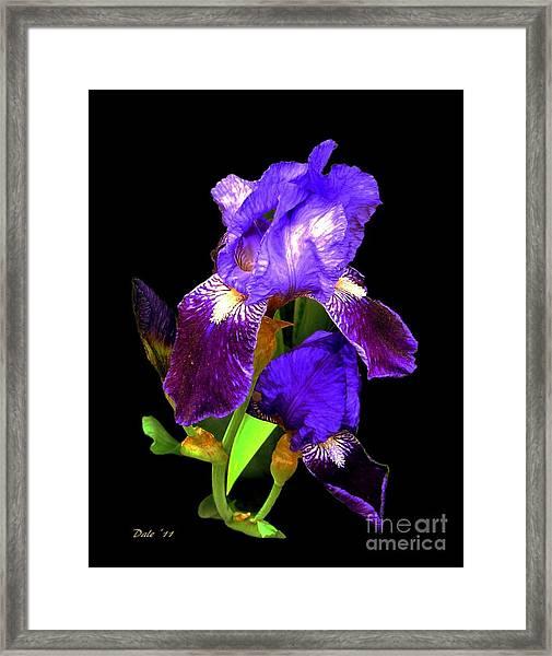 Iris On Black Framed Print