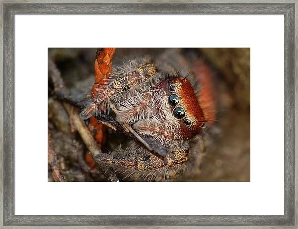 Jumping Spider Portrait Framed Print