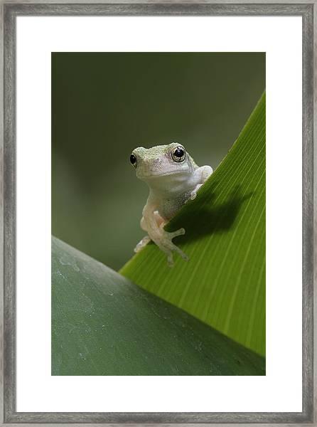 Juvenile Grey Treefrog Framed Print