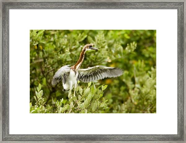 Juvenile Tricolored Heron Egretta Framed Print