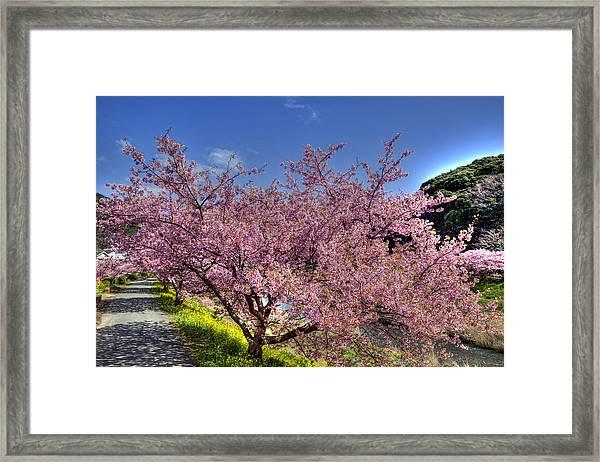 Kawazu Sakura-1 Framed Print