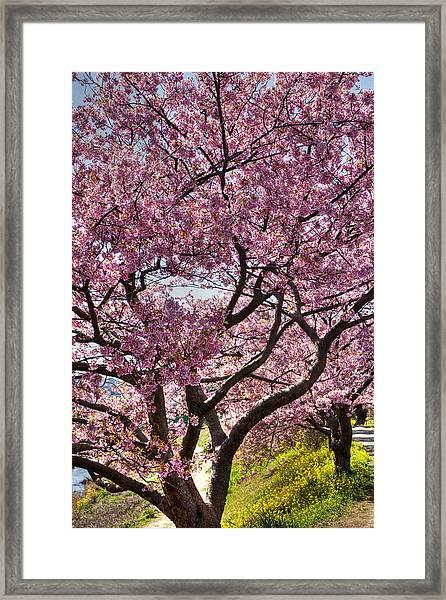 Kawazu Sakura  Framed Print