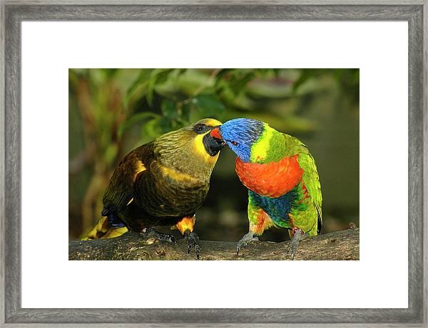 Kissing Birds Framed Print