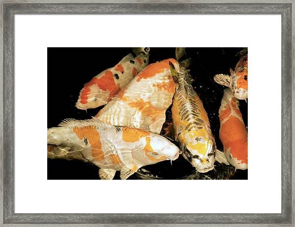 Koi Carp Framed Print by Victor Habbick Visions