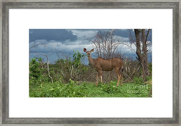 Kudu Female Posing Framed Print