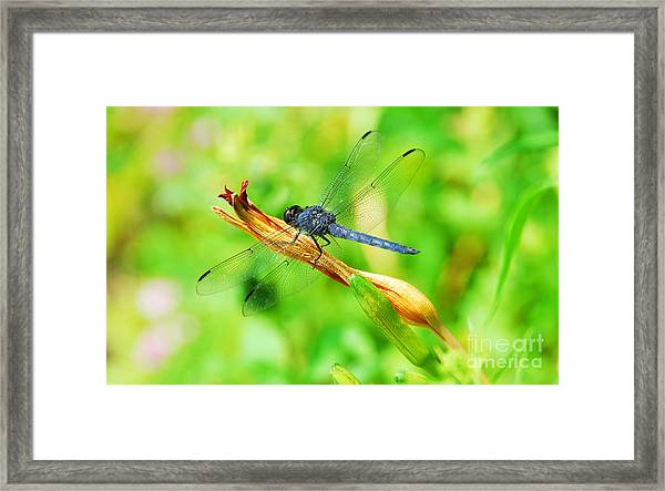 Lace Wings Framed Print