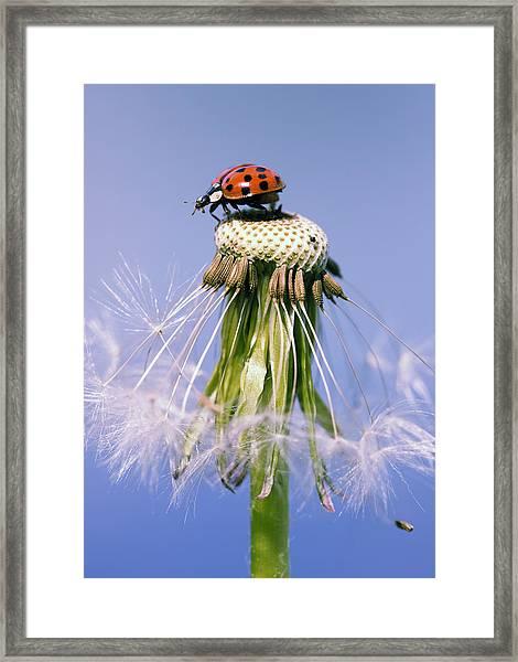 Ladybugs Dandelion Framed Print by Falko Follert