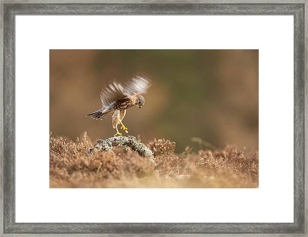 Landing Merlin Falco Columbarius   Framed Print by Nigel  Atkinson