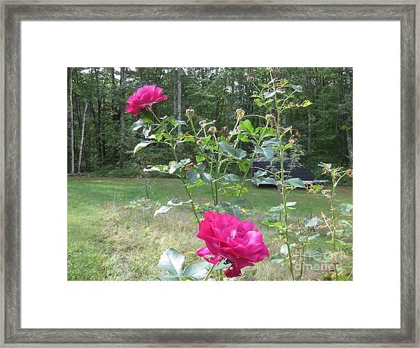 Last Roses Of The Summer For Mother  Framed Print