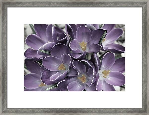 Lavender Crocus Framed Print