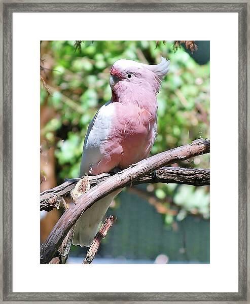 Leadbetter's  Cockatoo Framed Print