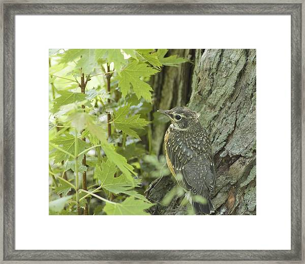 Leaving Home-young Robin Framed Print