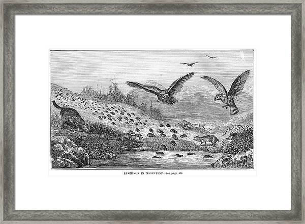 Lemming Migration Framed Print