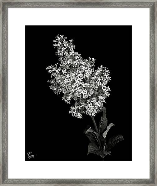 Lilac In Black And White Framed Print