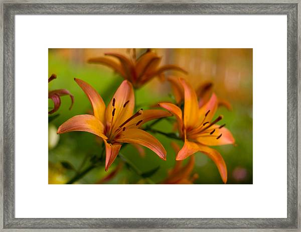 Lillies Framed Print by Benjamin Clark