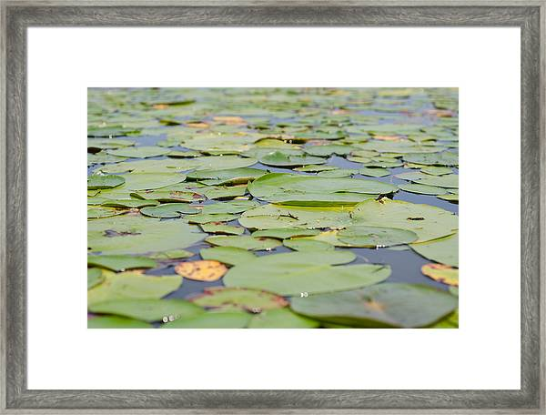 Lily Pads On The Water Framed Print by Margaret Pitcher