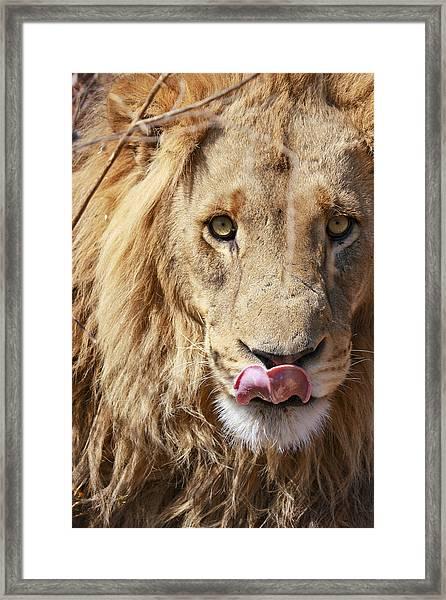 Lion Lunch Framed Print