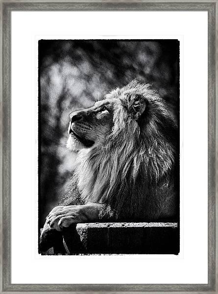 Lion Meditating Framed Print