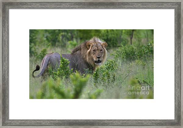 Lion On Patrol Framed Print