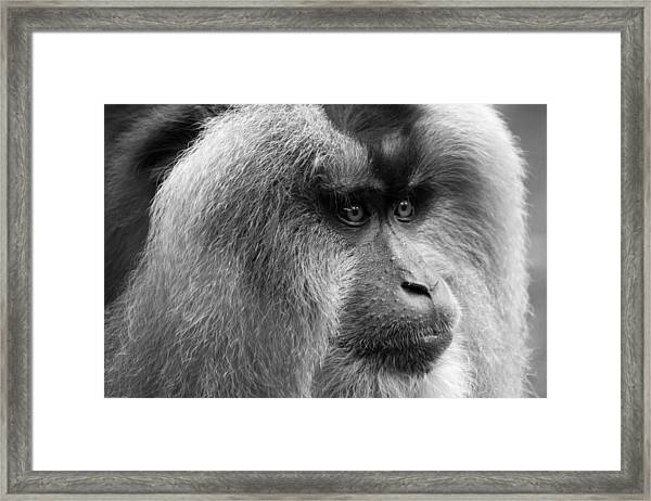 Lion-tailed Macaque Framed Print