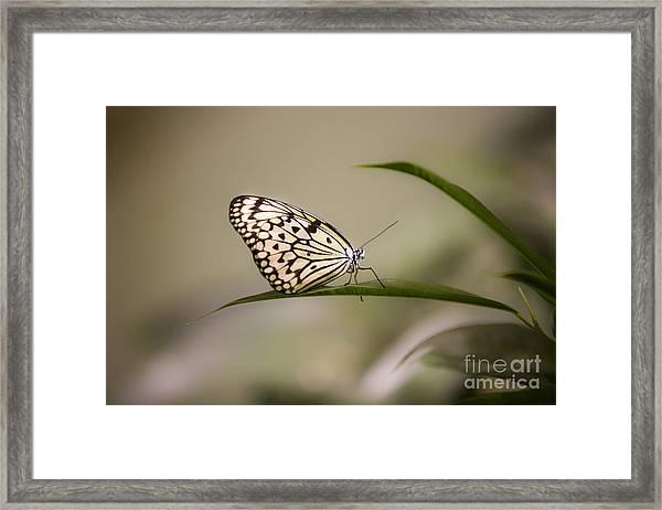 Little Zebra Framed Print