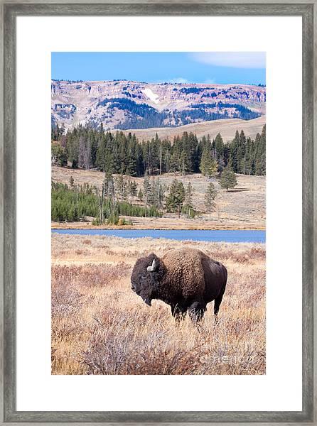 Lone Buffalo Framed Print