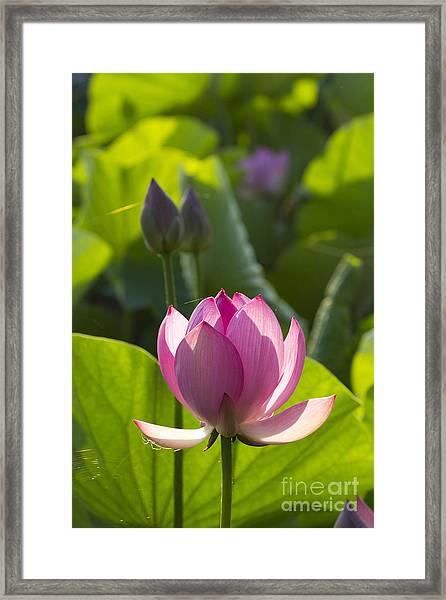Lotus 4 Framed Print