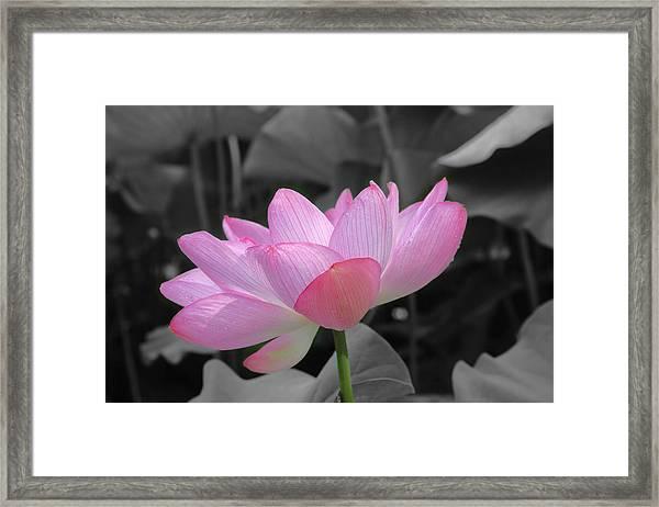 Lotus Splash Framed Print