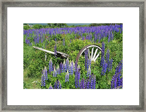 Lupin Wheels Framed Print