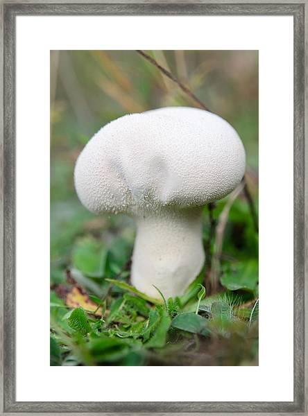 Lycoperdon Framed Print