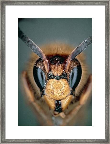 Macrophoto Of Head Of Hornet Vespa Crabro Framed Print