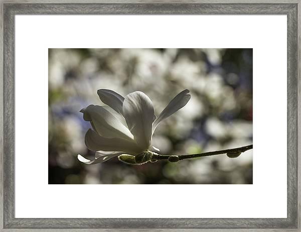 Magnolia X Loebneri  Merrill. Framed Print