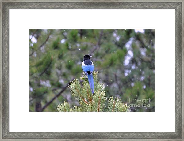 Magpie In Snow Framed Print