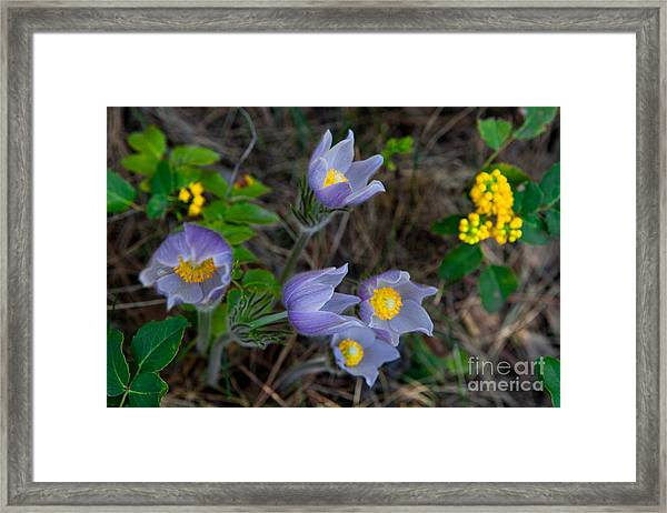 Mahonia And Pasqueflowers Framed Print
