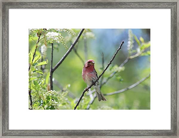 Male Purple Finch Framed Print