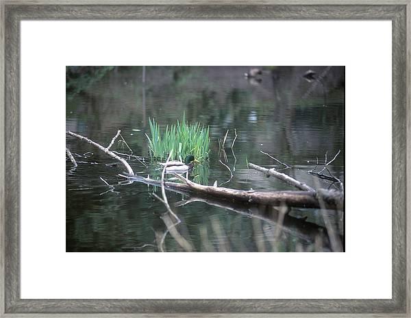 Mallard Swimming Framed Print
