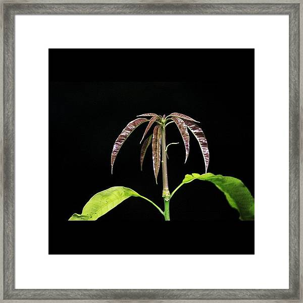 Mango Tree Baby Leaves Shooting Out Framed Print
