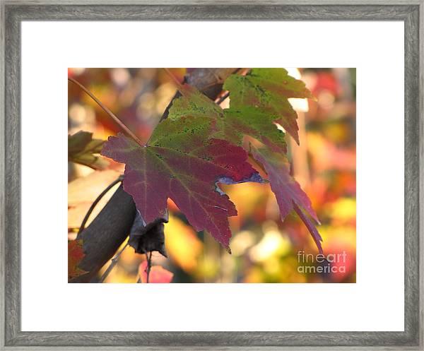 Maple Leaf Framed Print by Richard Nickson