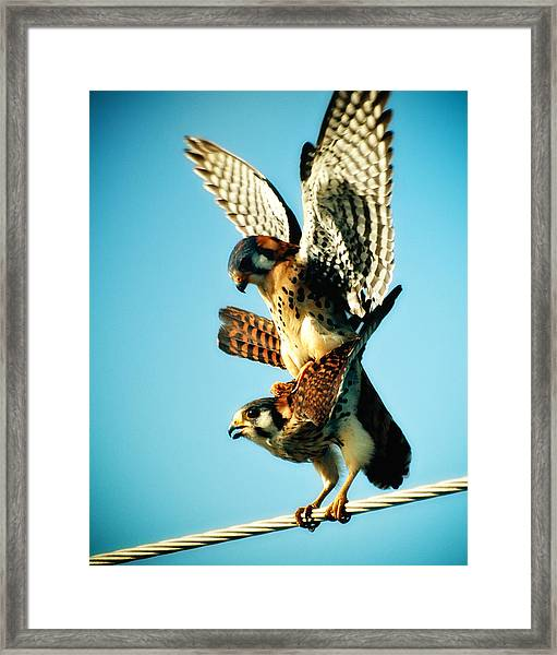 Matting Hawks Framed Print