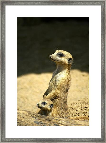 Meerkat Mother And Baby Framed Print