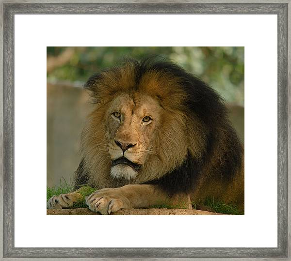 Mighty Lion Framed Print