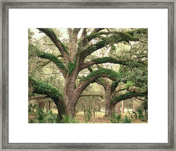 Mighty Oaks Framed Print