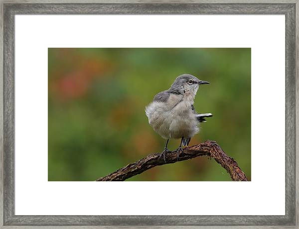 Mocking Bird Perched In The Wind Framed Print