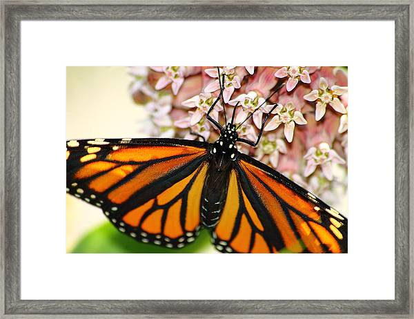Monarch On Milkweed 5 Framed Print
