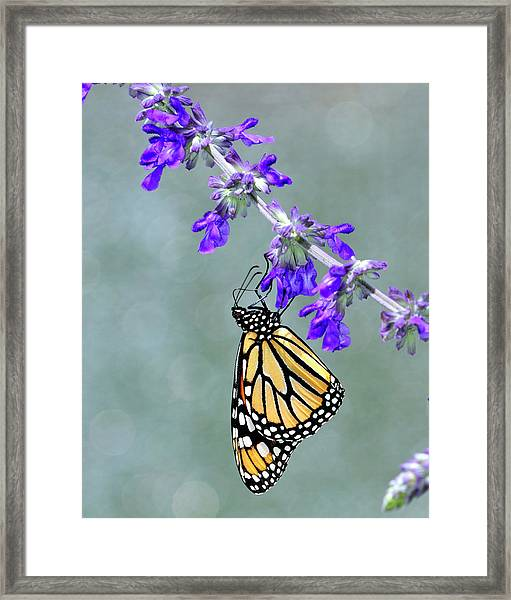 Monarch On Purple Framed Print